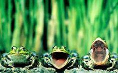 Western Chorus frogs :)