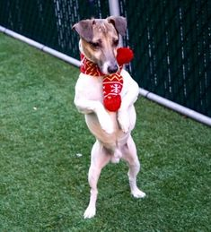 BISCUIT - 16069 - - Manhattan  TO BE DESTROYED 12/22/17 **NEEDS A NEW HOPE RESCUE TO PULL** -  Click for info & Current Status: http://nycdogs.urgentpodr.org/biscuit-16069/