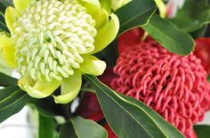 The Waratah flower has an interesting history and is so beautiful. Check out these big, beautiful Waratah flowers including some unusual white Waratahs Waratah Flower, Australian Flowers, Native Australians, Line Flower, Nature Collection, Beautiful Flowers, Wedding Flowers, Bloom, Lily