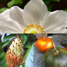 Japanese anemones, magnolia seed pod and pumpkin all looking good in October