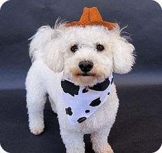 "Today's Five O'Clock Cuteness is Jay, a young Bichon Frise in Suffolk, Virginia. Jay is all dressed up in his cowboy best to wrangle a new forever home! He's hoping to be adopted into a home with another dog so he can have plenty of puppy playtime. Jay is very active and loves to play! For more on Jay, please visit his Adopt-a-Pet.com profile: http://www.adoptapet.com/pet/8707577-suffolk-virginia-bichon-frise  Jay sends a special ""Howdy"" to Purina for helping pets like him find forever…"