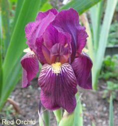 Iris ib red orchid