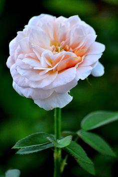 バラ (Rose)   Flickr - Photo Sharing!