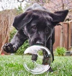 A big bubble to run after. #dogs #pets #BlackLabradorRetrieverPuppies Facebook.com/sodoggonefunny