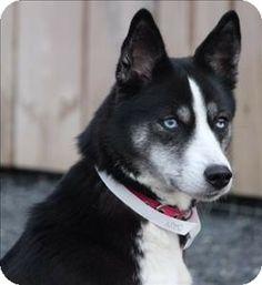 Quakertown, PA - Husky/Basenji Mix. Meet Mia a Dog for Adoption.