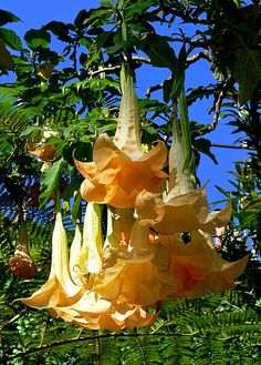 Brugmansia, Angel's Trumpet. I've always wanted one of these, but delayed because they're poisonous...