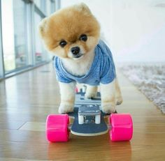 Glorious Pets That Actually Earn Their Owners Millions Page 2 of 11 : Jiff the Pomeranian is a dog of many talents. He knows how to shake hands, bows, rides a skateboard and even stamps his own autograph. His most recent honor was one for the record book Super Cute Puppies, Cute Baby Dogs, Cute Dogs And Puppies, I Love Dogs, Doggies, Cute Funny Animals, Cute Baby Animals, Animals And Pets, Boo Dog