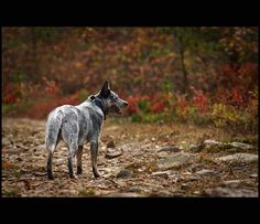 Our Australian Cattle Dog by kimberly ann kern, via Flickr