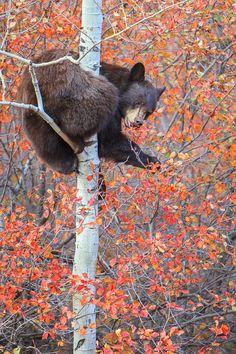 Autumn, bear in tree | beautiful amazing