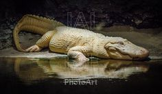 An albino alligator rests in his tank at the Audubon Zoo in New Orleans.