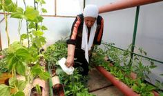 Hajjar (Hijar) Hamdane al-Ayess, a Palestinian woman tends to plants in a greenhouse on the rooftop of her house at the Deheisheh refugee camp, near the West Bank city of Bethlehem, on May 12, 2015