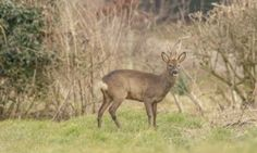 Country Diary : Roe Deer Buck at edge of field in early evening