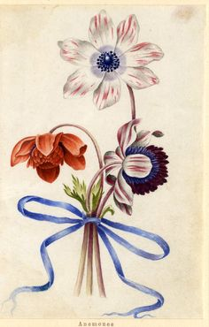 Drawing from an album, white and crimson, and orange Anemones, tied with blue ribbon Watercolour over metalpoint, shaded with grey wash, on vellum