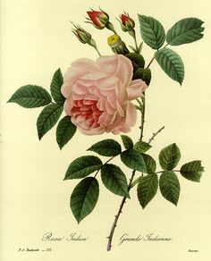 Pierre Joseph Redouté - Botanical illustrations