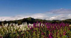 Ventura County Flower Fields