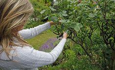 Der beste Zeitpunkt für den Schnitt von Rosenstecklingen ist meist ab Ende Juli ideal. Wählen Sie einen Trieb, der möglichst keine Blüten trägt und schneiden Sie mit der Gartenschere von der Spitze ausgehend rund 25 Zentimeter ab
