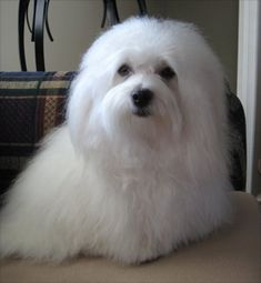 Kitasoo is my sweetest little Coton de Tulear. She is funny, loves to run and play and exceptionally loving. www.spiritbearcotons.com (Beautiful Kitty...)
