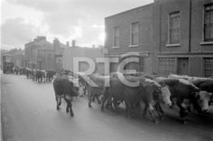 A drover herds cattle through North King Street, Dublin city, in 1952 or 1953. They are probably heading towards the Dublin Cattle Market, then located near North Circular Road. A double-decker bus can be seen in the left background. A sign on the right indicates a premises owned by Byrne at 101 North King Street, although Thom's Directory (1952) lists an M Muldoon at this address. Collection RTÉ Johnson Collection Photographer Johnson, Nevill