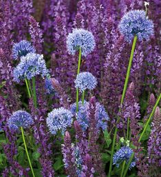 Allium Caeruleum - the only blue allium, flowers June & July Perennial Bulbs, Hardy Perennials, Garden Bulbs, Planting Bulbs, Allium Flowers, Biennial Plants, Plant Delivery, Blue And Purple Flowers, Summer Plants