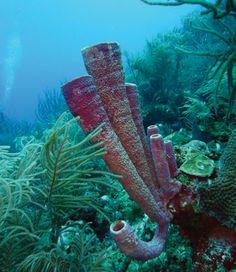 marine #sponge Halisarca caerulea
