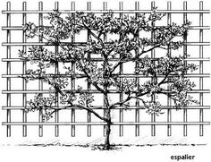 Espalier: The fruit trees most suited to this style of training are Apples and Pears. However, other fruit trees such as Plums, Cherries, Peaches, Nectarines, Almonds, Apricots and fruiting vines can also be espaliered in more simple designs.