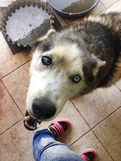 Cody, my Siberian Husky