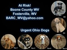 Urgent!   These dogs are located in a rural shelter in WV. The following dogs are in desperate need of your help! The white lab mix has been there since around September 24!!!! Please share so that these dogs may have a chance at finding a forever home!  Boone County Dog Pound Fosterville, WV barc_wv@yahoo.com https://www.facebook.com/photo.php?fbid=737754149573047&set=a.252994508049016.80576.250169258331541&type=1&relevant_count=1&ref=nf