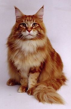 Maine Coon Cat red tabby