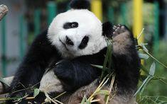 Download wallpapers Panda, bamboo, cute bear cub, big panda, forest animals, China