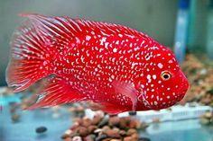 aquariums with red oscar fish | Re: Texas cichlid 1 year 7 months ago #266060