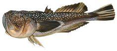 Northern stargazer (Astroscopus guttatus)