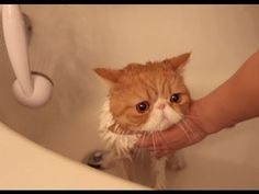 Exotic Shorthair Kitty in Bubble Bath
