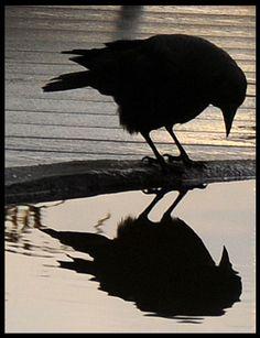 "Petit Cabinet de Curiosites avian narcissus in black....""beautiful reflection""..."