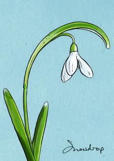 Snowdrop illustration - Greg Stevenson