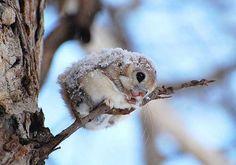 O esquilo voador anão japonês http://www.oversodoinverso.com/o-esquilo-voador-anao-japones/