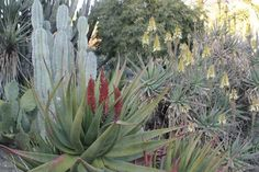 Desert Plants | Many aloes were blooming with their dramatic spikes of hot, bright ...