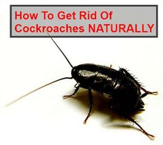 If you want to know how to get rid of cockroaches without expensive and nasty chemicals, you've come to the right place! The technique below is cheap, chemical/fume free and natural… What You Need: Borax Sugar What you do: Mix the borax and sugar in equal quantities. The amount you make will be dependent on …
