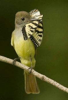 Great Crested Flycatcher with a butterfly.