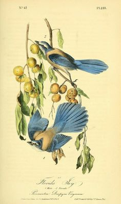 heaveninawildflower reblogged smithsonianlibraries Follow  biodivlibrary BHL Book Feature: Feathursday JAYS!  It's #Feathursday! This week marks the 232nd anniversary of the birth of John James Audubon, so we are featuring illustrations from his iconic Birds of America series (1840-1844) with a special focus today on Jays.   Our featured illustration is of the man himself, John James Audubon, a self-described Popinjay! Audubon was a handsome young man, and he knew it. According to his…