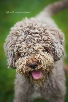 Lagotto Romagnolo:  the best dog ever!!