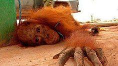 Mi nombre es Maria del Socorro Bayer Mejia, vivo en la ciudad de Medellin, Colombia,  amo entrañablemente a los animales, y el día de ayer me entere por un artículo en Yahoo de una noticia con la cual mi corazón quedo en pedazos , viendo la maldad del ser humano.   En Tailandia existe el  abuso sexual...