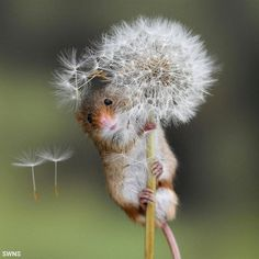 Photographer Karen Armitage captured a tiny harvest mouse after it scurried to the top of a dandelion, clinging onto its stem as fluffy seeds float away. Cute Baby Animals, Animals And Pets, Funny Animals, Mouse Pictures, Animal Pictures, Beautiful Creatures, Animals Beautiful, Harvest Mouse, British Wildlife