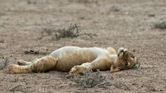 """Thank you to photographer Johan J. Botha for this truly humorous capture of a young lion at Kgalagadi Transfrontier Park, South Africa, who apparently overindulged and which has the title """"Too full to move! Animals And Pets, Baby Animals, Funny Animals, Cute Animals, Beautiful Cats, Animals Beautiful, Lion And Lioness, Lion Love, Cute Kittens"""