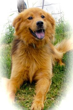 Meet Joe, a Petfinder adoptable Chow Chow Dog | Marion, KY | Joe is an absolutely beautiful guy and he is definitely a dog you would be proud to call yours. ...