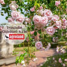 Ideali pentru înfrumusețarea fațadelor, acoperirii gardurilor și zidurilor, aceștia înfloresc de primavara până toamna. Culori disponibile: rosu, alb, galben și roz deschis Floral Wreath, Outdoor Decorations, Wreaths, Spring, Flowers, Projects, Shop, Home, Plant