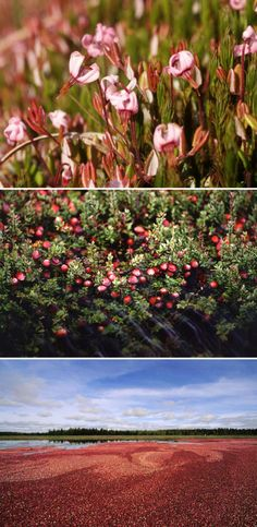 Cranberries grow off of evergreen dwarf shrubs that bear flowers that become the little pieces of fruit. 15 Stunning Photos That Prove You Have No Clue How Food Is Grown
