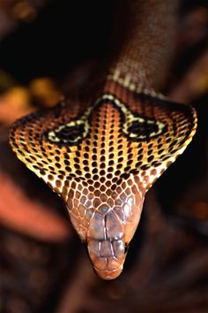 snake-lovers:  Indian Cobra (Naja naja)