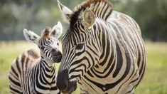 Baby Wild Animals, Baby Animals Pictures, Cute Animal Photos, Pretty Animals, Cute Little Animals, Adorable Animals, Exotic Pets, Exotic Animals, Baby Zebra