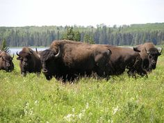 Bison herd at Lake Audy in Riding Mountain National Park, Manitoba, Canada. Vancouver, Parcs Canada, Riding Mountain National Park, Canada National Parks, American Bison, Wild Nature, Quebec, Wildlife, Beautiful