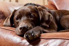 chocolate labrador relaxing on the couch
